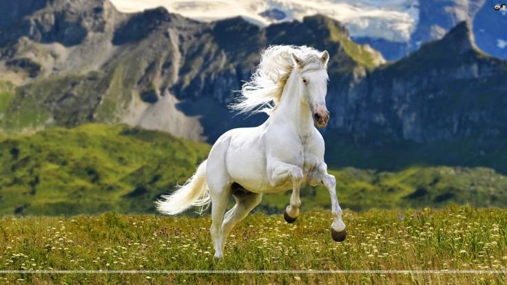 pretty-white-horse-wallpaper