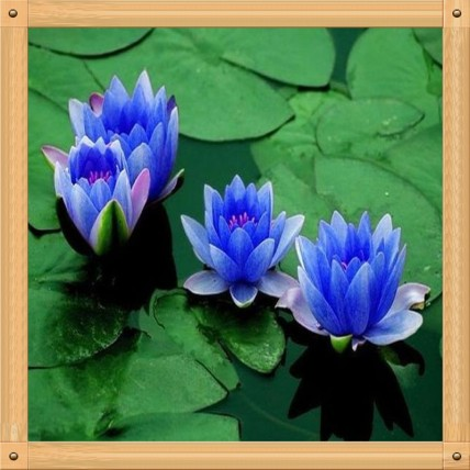 10PC-Water-blue-lotus-seed-Hydroponic-flowers-small-water-lily-seeds-mini-lotus-seeds-bonsai-seeds
